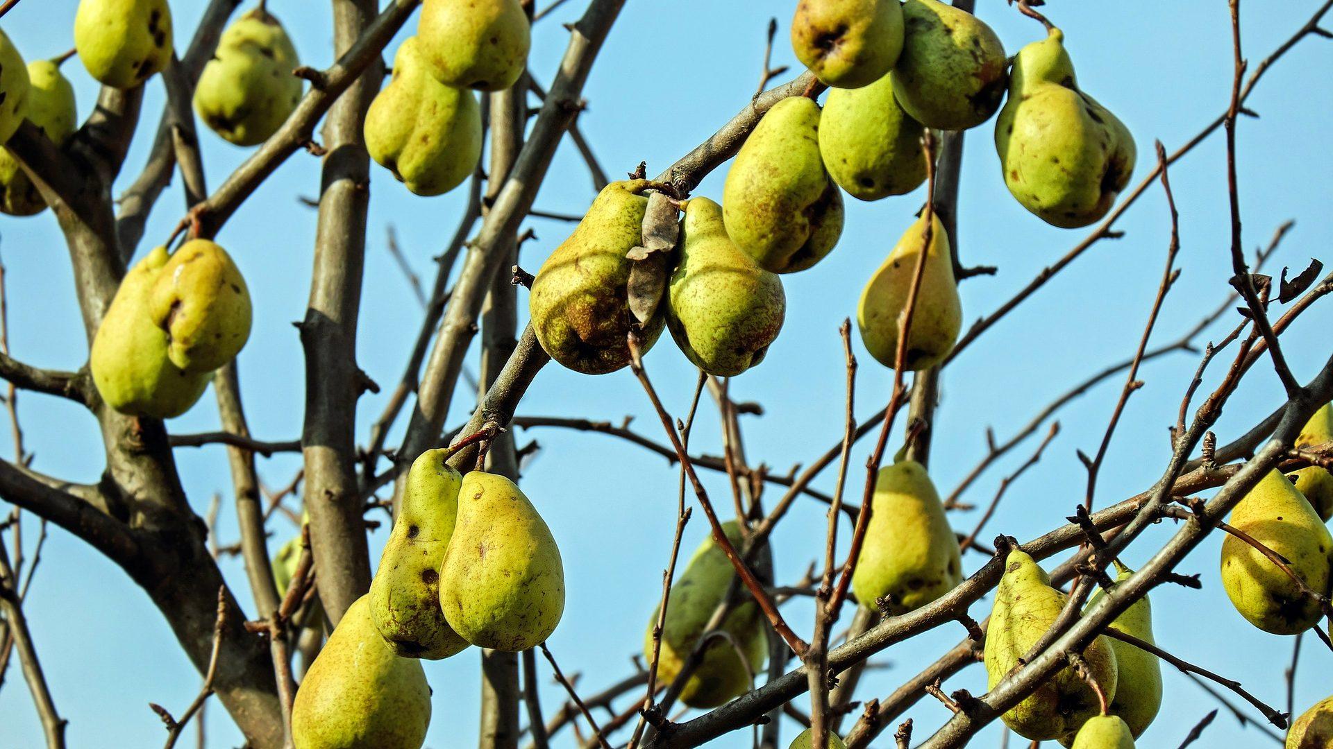pears-1756873_1920