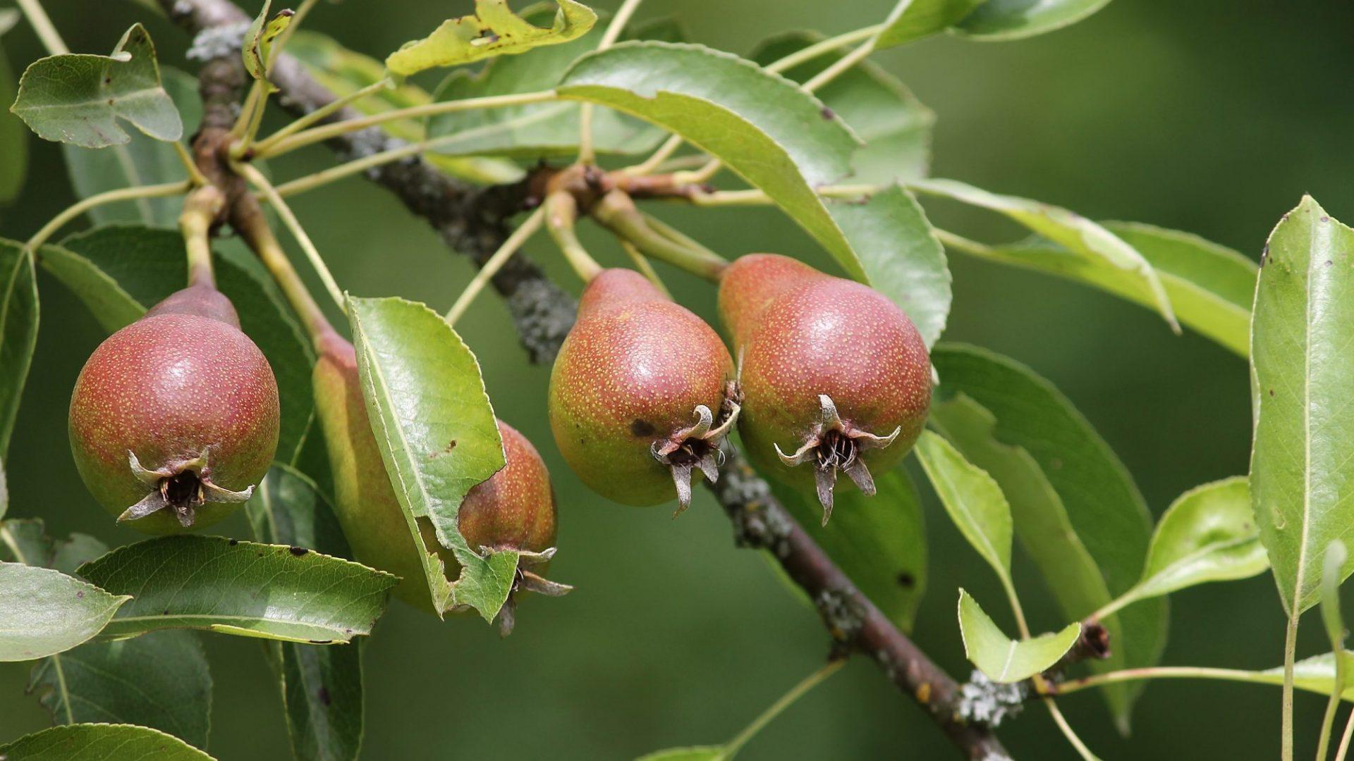 pears-3481351