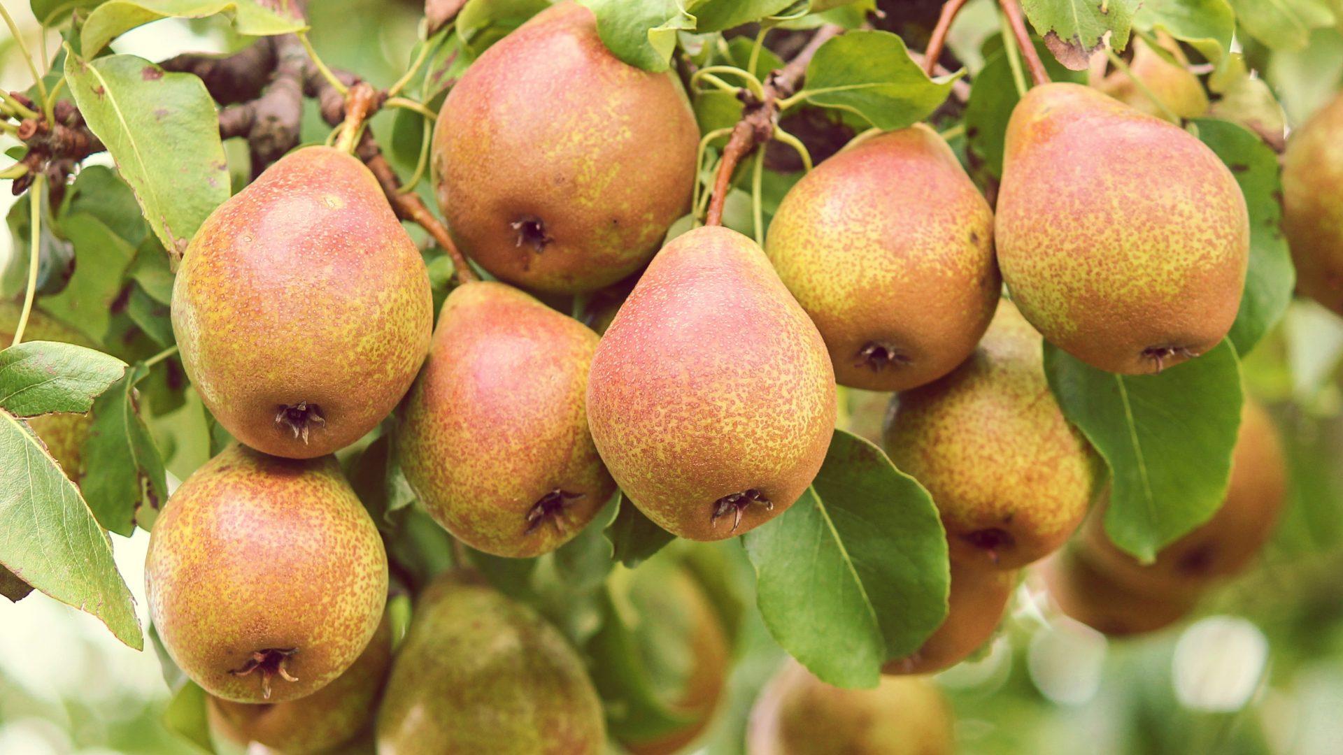 pears-3633119
