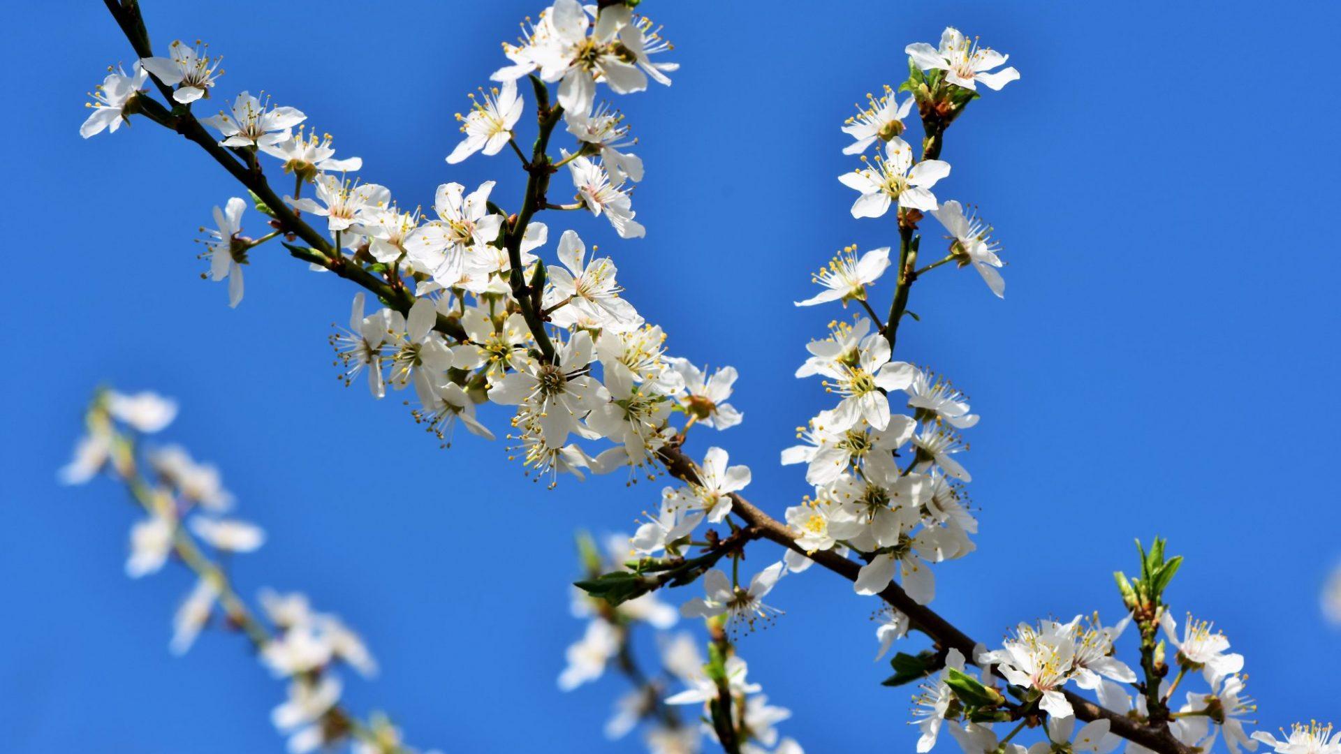 plum-blossom-3301898