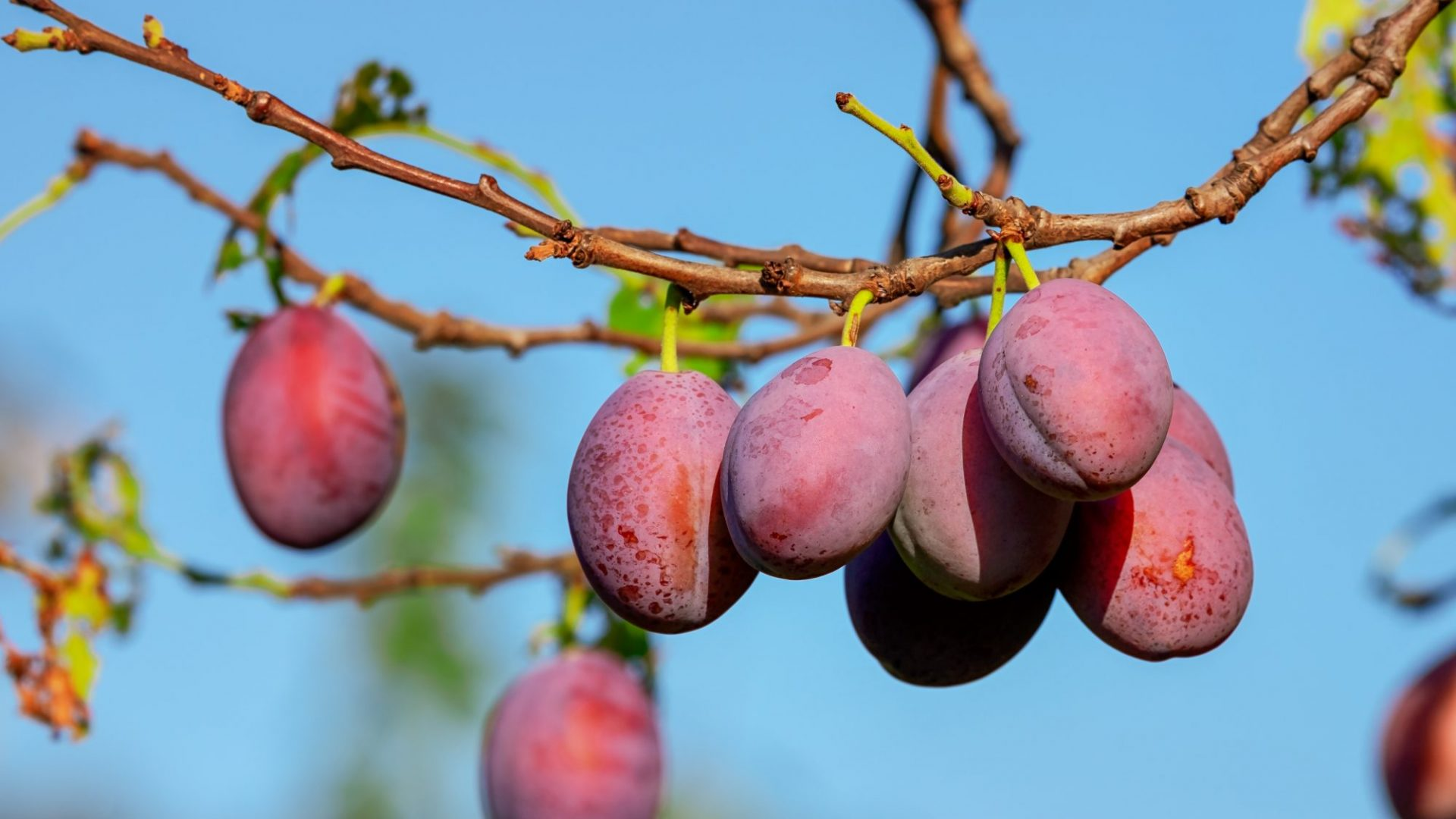 plums-3560078