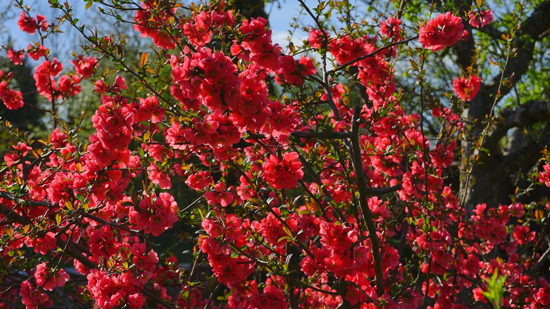 quince-japanese-ornamental-324372_1920