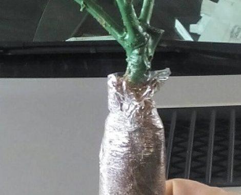 rose plant2