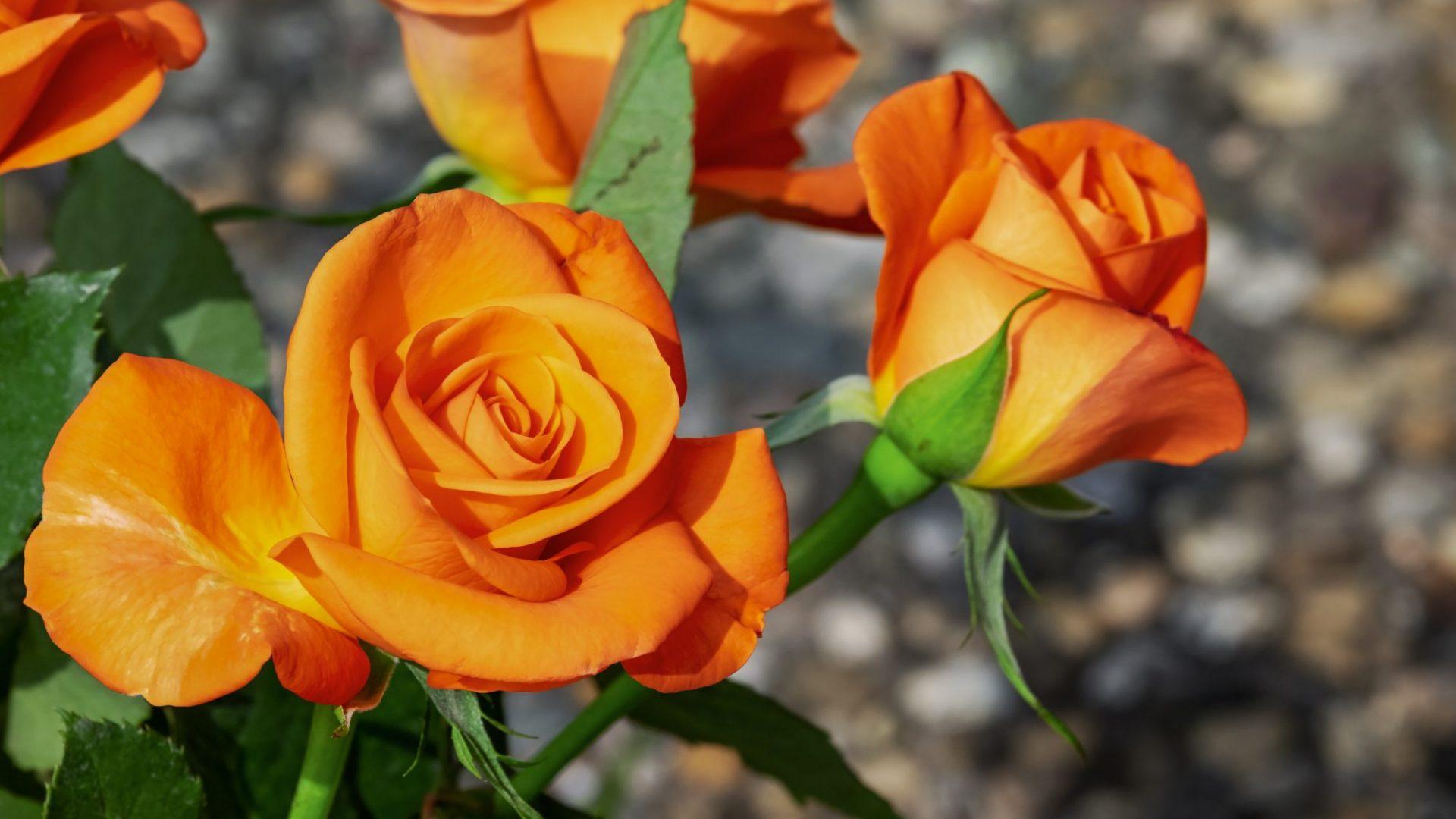 roses-3419108