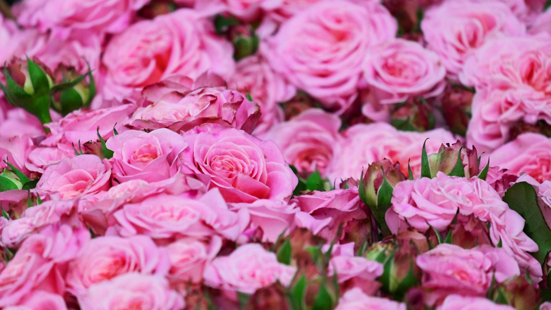 roses-3436439