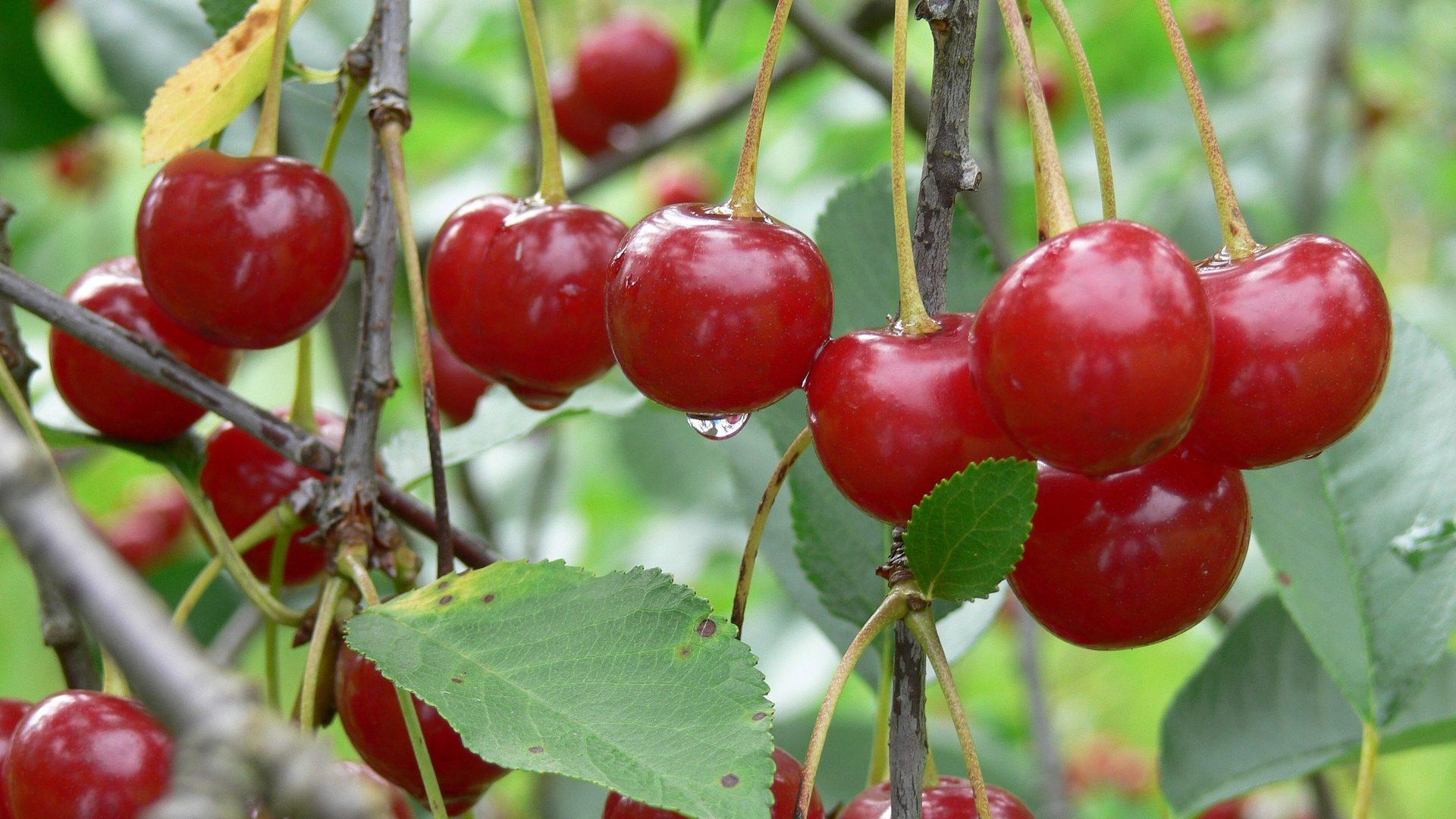 sour-cherry-1401014_1920