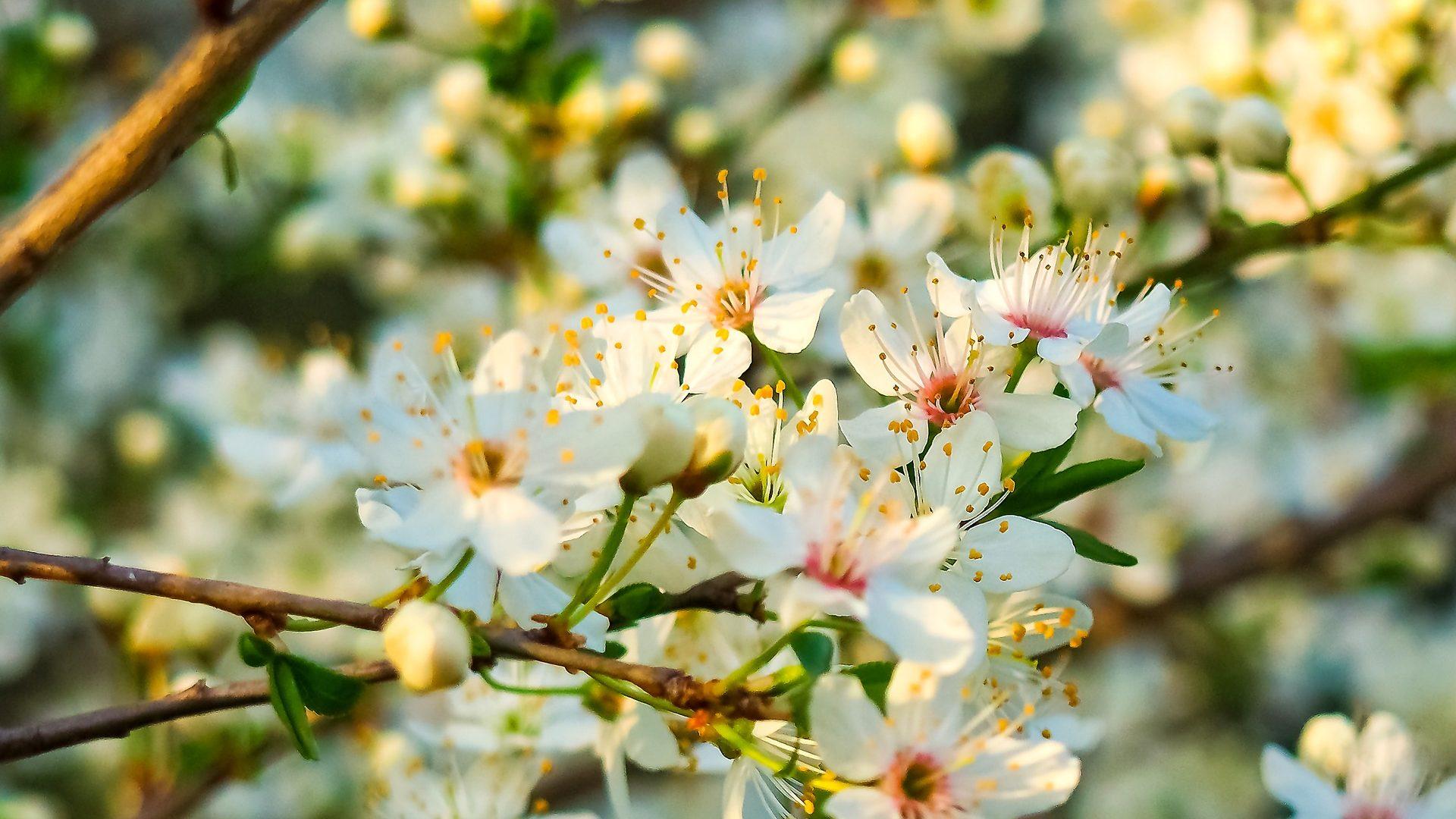 sour-cherry blossom-2149330_1920