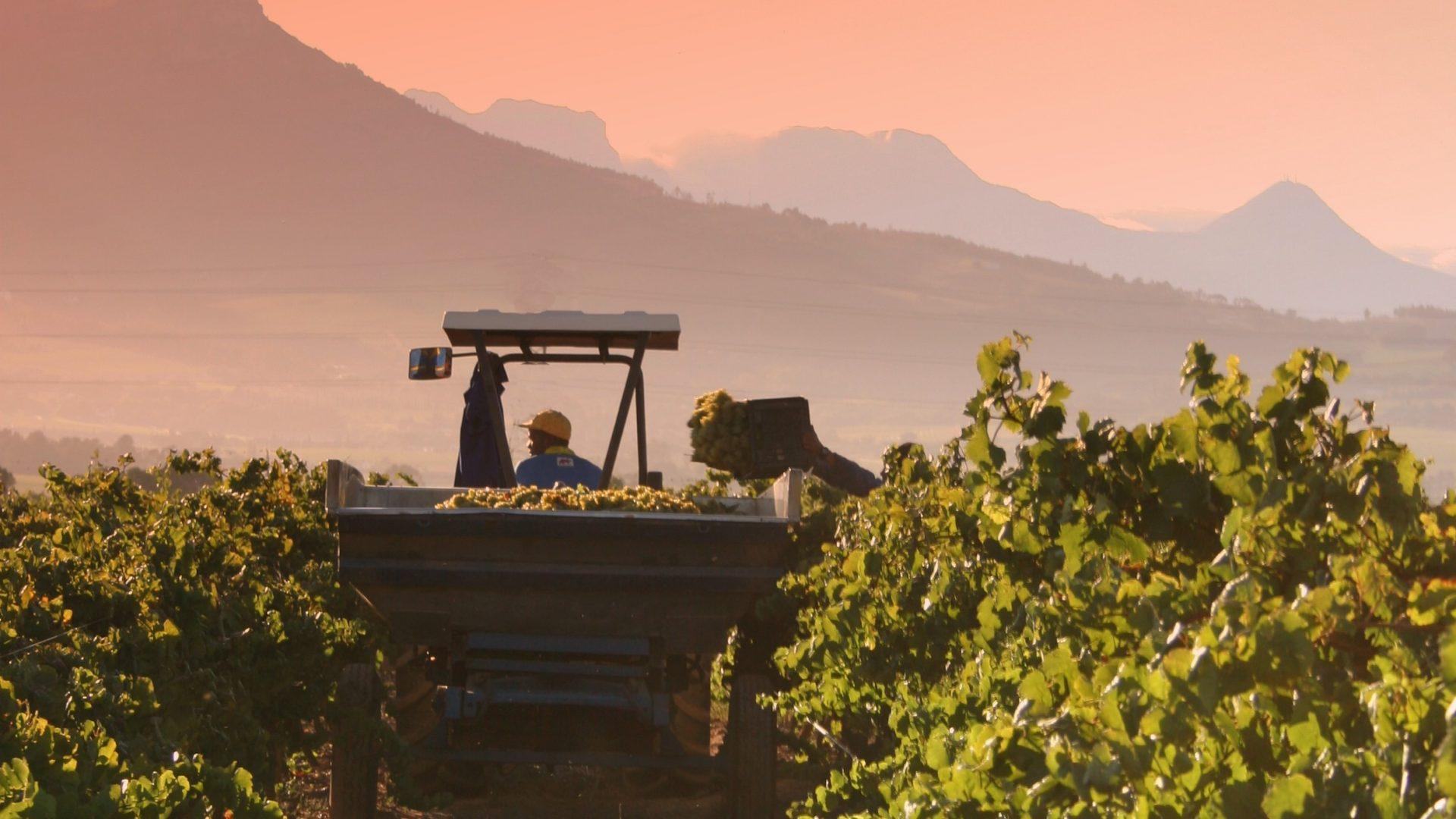 vineyard chardonnay-227786