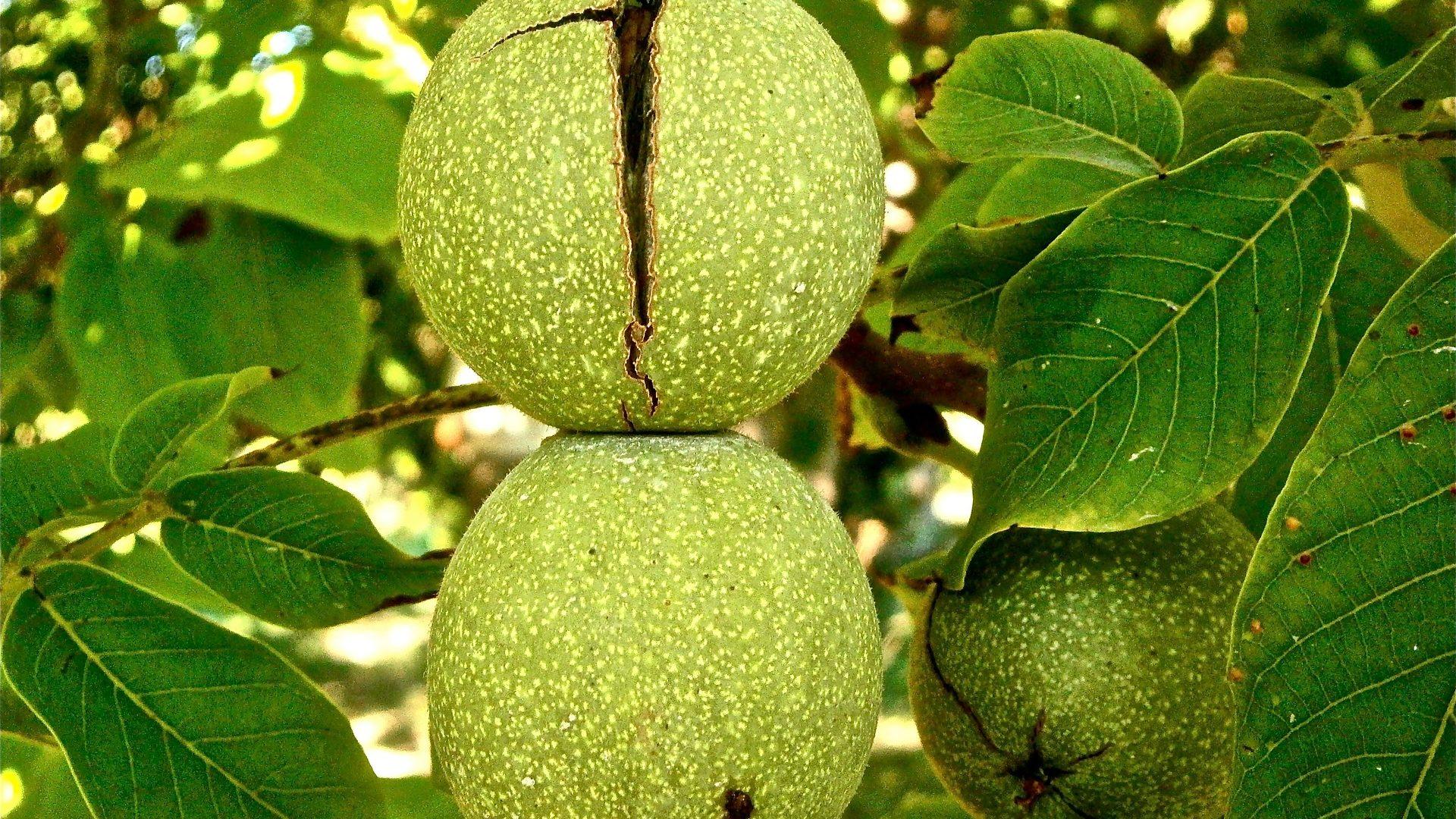 walnut-222042_1920
