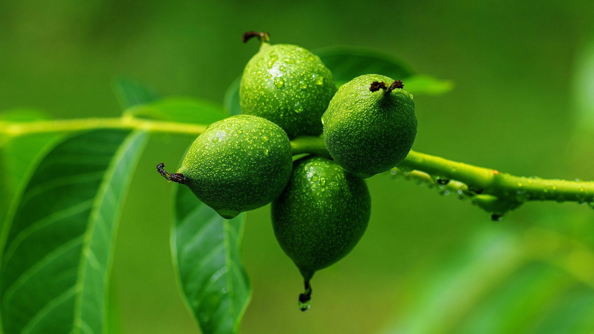 walnut-3471244_1920