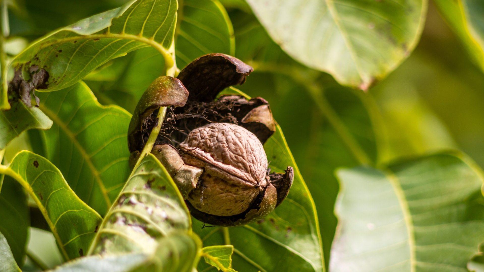 walnut-970451