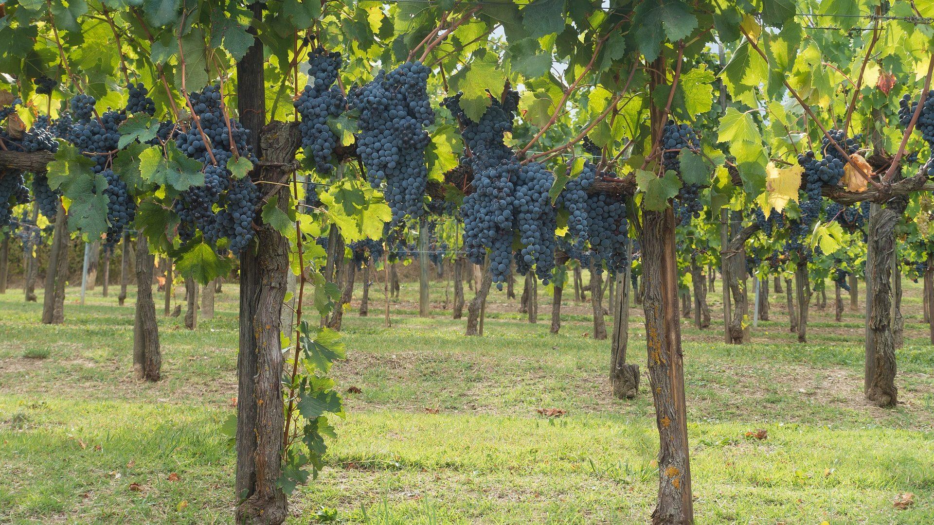 winegrowing-972948_1920